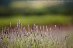 Bud of lavender☆