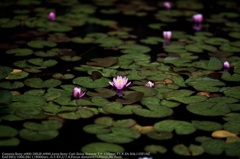 Water lily☆