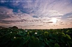 White lotus☆