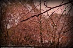 Cherry blossoms of drop of water☆