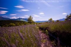 Lavender field☆