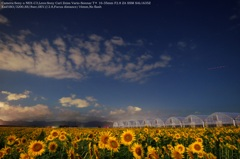 Sunflower field of night☆