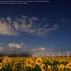 Sunflower field of night☆