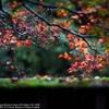 Rain autumnal leaves☆