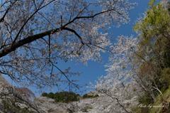 桜に囲まれて