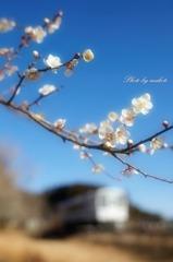 梅の咲く沿線