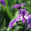 北潟湖花菖蒲園H25.06.16