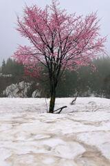 雪原に咲く