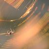 金色蜘蛛助
