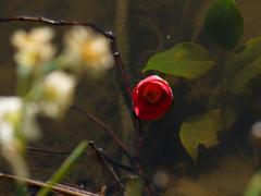 水に咲く花 P1230313zz