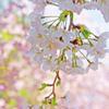 さくら色のなかの桜 IMGP1287zz