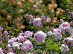 Pink roses _IGP9766zz
