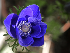 庭に咲いたアネモネ P1230587zz