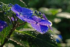 雨が似合う花 IMGP6568zz