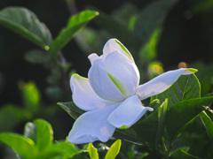 くちなしの白い花Ⅱ P1300718zz