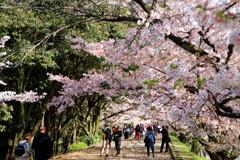 桜のトンネル IMGP9698zz