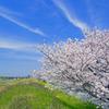 河川敷の桜 _IGP4436zz