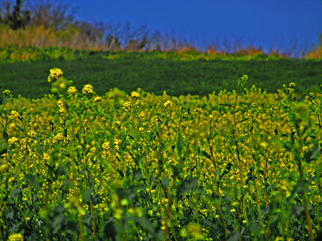 菜の花畑 DSC02609zz