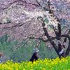 桜の下の親孝行 IMGP7517z