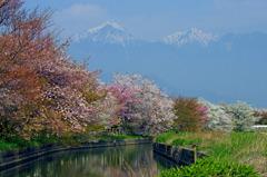 拾ヶ堰の桜 _IGP9829zz
