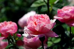 薔薇だより IMGP9874zz