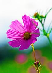 ピンクの笑顔 IMGP9772zz