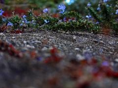 冬紅葉と春を待つ花   P1230384zz