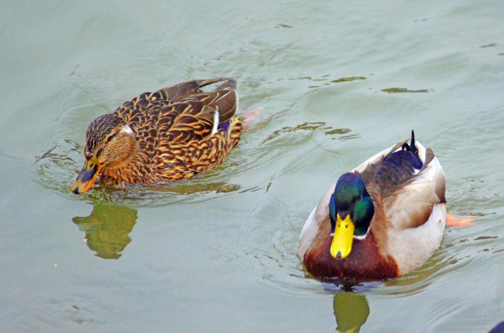 仲良く泳ぐ夫婦鴨 IMGP4122zz
