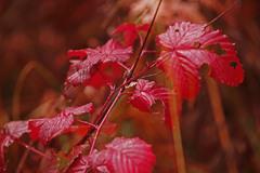 赤い葉っぱ IMGP8738zz