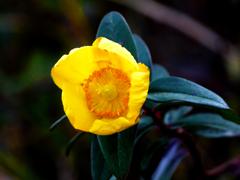 厳寒に咲く P1190619zz