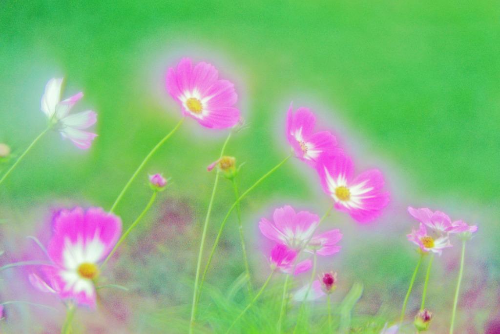 はんなりと咲く花(ソフトフォーカスレンズ) IMGP6726zz
