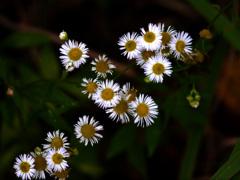 路傍に咲く花 P1160472zz