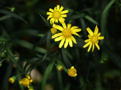 路傍に咲く花 P1160462zz
