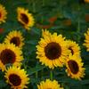 向日葵が咲いたよ P1310957zz