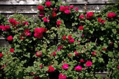 Rose wall IMGP5260zz