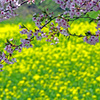 春爛漫 IMGP7583zz