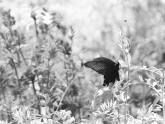 黒アゲハ蝶 P1180530zz