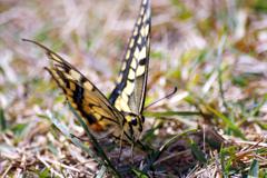 ススキの原で見つけた蝶Ⅱ IMGP1569zz