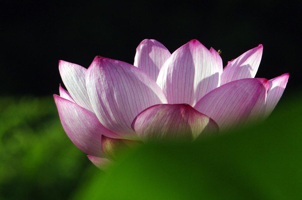 ピンクの睡蓮