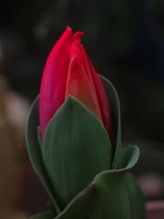赤い蕾 P1250272zz