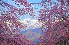 桜の額縁 _IGP4579zz