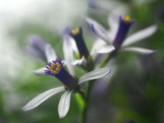 栴檀の花 P1220826zz