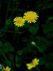 道端の花 P1310735zz