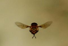ぶんぶんぶんハチがとぶ IMGP6254az