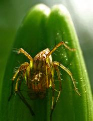 ユリの蕾に取り付く蜘蛛 P1240479z