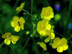 ハチとバッタと黄色い花 P1220207zz