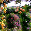 薔薇のアーチ _IGP6342zz