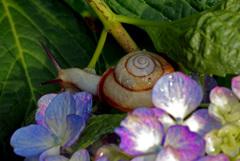 紫陽花に蝸牛 IMGP6562zz