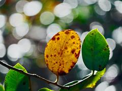 緑と黄色の病葉 P1160092zz