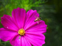秋桜に蜂 P1310840zz